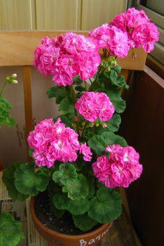 Geraniums Garden, Window Box Flowers, Garden Inspiration, Pretty In Pink, Beautiful Flowers, Indoor Outdoor, Bouquet, Rose, Creative