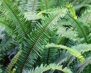 SAMAMBAIAS (Pteridófitas)- são plantas que não produzem sementes. Reproduzem-se por esporos, que dão origem a um indivíduo geralmente insignificante e de vida curta, que por sua vez produz gametas para dar origem a uma nova planta.