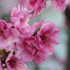 Amazing photo by Lisa Fletcher of nectarine blossoms