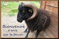 Ouessant forum portail : Tout sur les moutons d'ouessant. Le Mouton d'Ouessant
