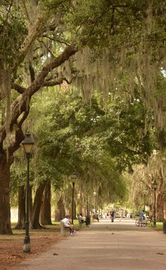Spanish moss trees of Savannah
