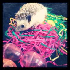Easter hedgie!!