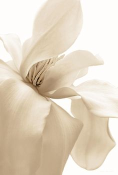 Pretty Magnolia flower in soft white and brown monochrome photography art for your home or office decor.  Artist Jennie Marie Schell