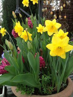 Narzissen, Tulpen, Frühjahrsblumen -