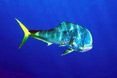 Dolphin Fiah