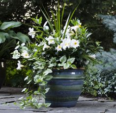 Create a midnight garden with white Rio dipladenias. Includes a dracaena spike and trailing plectranthus. Create a midnight garden with white Rio dipladenias. Includes a dracaena spike and trailing plectranthus. Garden Containers, Plants, Flower Planters, Container Flowers, Flower Pots Outdoor, Midnight Garden, White Gardens, Garden Landscaping, Shade Garden