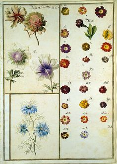 Karlsruher Tulpenbuch, Blatt 70