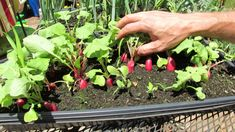 Simplest Way to Grow Successful Radishes in Small Spaces Fast.  Watch this simple video to learn how now!