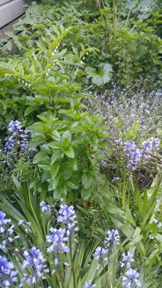 Mint, bluebells, forget- me-nots, Lily of the valley. Lily Of The Valley, Forget, Mint, Garden, Plants, Peppermint, Garten, Gardening, Plant