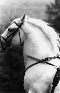Vintage Cabellero - Black and White horse photograph / giclee $60 by @Juliet Nicole Harrison