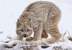The Canada lynx (Lynx canadensis) or Canadian lynx is a North American mammal of the cat family, Felidae. It is a close relative of the Eurasian Lynx. I Love Cats, Big Cats, Cats And Kittens, Caracal, Tier Wallpaper, Animal Wallpaper, Nature Wallpaper, Especie Animal, Mundo Animal