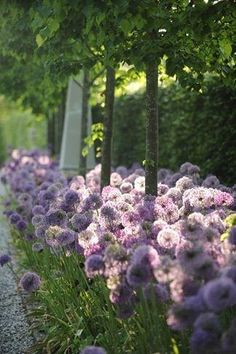 LOVE purple allium flowers!!!!  <3  <3  <3
