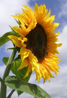 The strong sunflower