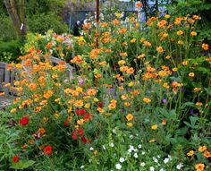 """VIP! Geum coccineum Totally Tangerine (orange). In our gardens where it bloomed non-stop from late Spring thru October with a cloud of blooms the likes of which we'd never seen on a Geum! Zillions of 1.5"""" """"Totally Tangerine"""" blooms on a mass of branching stems. So exciting! And know this: Geums are amazingly tough, put up with crowding, are long lived & well, reliably """"big bang for the buck."""" Low, neat, compact foliage clump. 3' x 3'. Butterflies & great cut flowers! Deadhead & rich soil"""