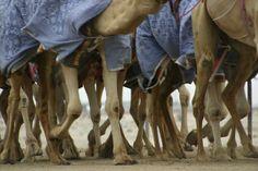 Camel track Dubai