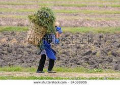 DALI, CHINA - MAY 22: Chinese farmer works in a rice field on May 22, 2010 in Dali, China. For many farmers rice is the main source of incom...