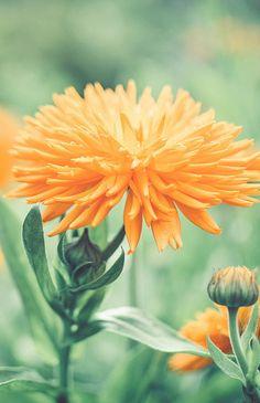 Orange...Dandelion