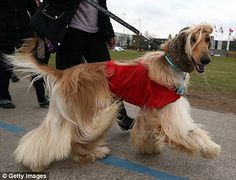 Snazzy jackets: These hounds show off their slim waistlines with their colourful coats on ...