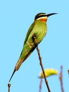Madagascar or Olive Bee-eater, Merops superciliosus