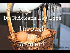 Do Chickens Lay Eggs in the Winter? ~ Simple Suburban Living