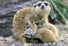 Merkats. That's one protective momma!