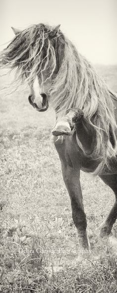 Sable Island stallion. Beautiful black white horse photography. Crazy long wild mane! Blaze on face and nose. Mane tossed over face while hooves pawing air. Beautiful horse. Please also visit www.JustForYouPropheticArt.com for colorful inspirational art. Thank you so much! Blessings!