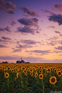 Skies Above The Sunflower Farm by John De Bord Photography #sunflower #ひまわり