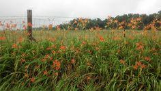 I love the roadside lilies in Indiana