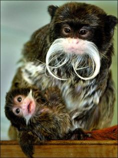 Happy Father's Day--this emperor tamarin helps take care of his baby :)