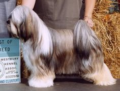 Believe it or not, you don't have to own super expensive equipment or be some kind of camera expert to take high quality camera shots like these. Havanese Puppies, Dogs And Puppies, Doggies, Cute Little Dogs, Cute Dogs, Tibetan Terrier, Animal Magic, Lhasa Apso, Dog Show