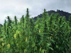 Cáñamo, la Cannabis sativa, es un recurso natural clave y tristemente subestimado, lamentablemente eclipsado por