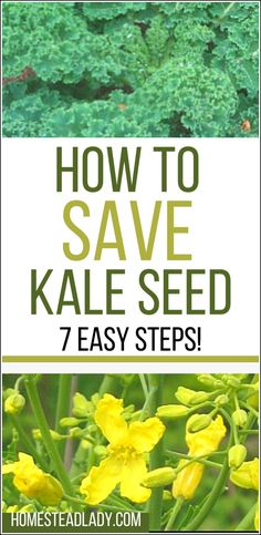How to Save Kale Seeds l Tips and Troubleshooting l Easy Seed Save for Beginners l Homestead Lady.com #seedsaving #kale #homesteading #homesteadlady #homesteadfamily #growyourown Harvesting Kale, Farm Gardens, Veggie Gardens, Vegetable Gardening, How To Make Compost, Organic Gardening Tips, Hacks, Growing Herbs, Seed Starting