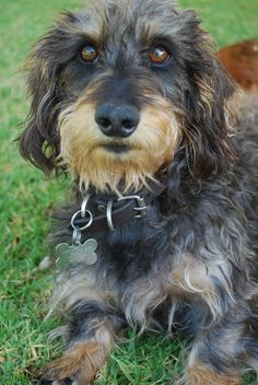 One of my dog's parents could be a wire-haired dachshund like this one...