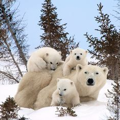 Newborn polar bear cubs pictured keeping close to mom on their first venture out of their den and into the Canadian wilderness