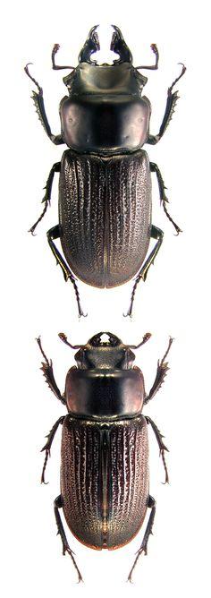 Sclerostomus wendyae (Arnaud, 2006) F Lucanidae