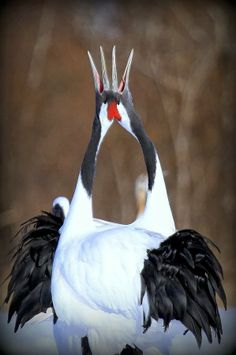 "(Red-crowned crane is a rare species of wild animals that is specified in the special natural monument of Japan. / Photo ""Duet (Red-crowned crane)"" by yume . Pretty Birds, Love Birds, Beautiful Birds, Animals Beautiful, Rare Animals, Wild Animals, Rare Species, Endangered Species, Mundo Animal"