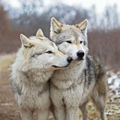 Wolf Photos, Wolf Pictures, Beautiful Creatures, Animals Beautiful, Animals And Pets, Cute Animals, Wild Animals, Two Wolves, Wolves Art