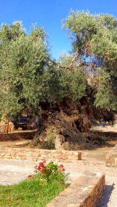 Der älteste Olivenbaum der Welt. 3000 Jahre alt