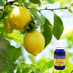 Lemon Essential Oil (Citrus limonum) for aromatherapy, skin care and natural perfumes. Tinderbox: supplying pure essential oils since Blue Glass Bottles, Lemon Essential Oils, Raw Materials, Tea Tree, Aromatherapy, Detox, Herbalism, Fragrance, Perfume