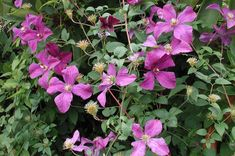 Culture Notes This clematis will grow best in full sun to light or open shade. Provide a location with rich well-drained soil where it can b...