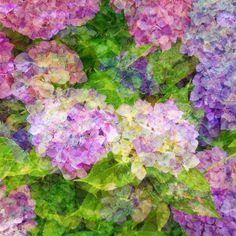 Melancholy of hydrangea #002