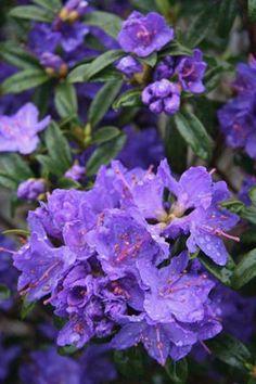 Rhododendron 'Blue Baron' - Metro West, MA | Weston Nurseries