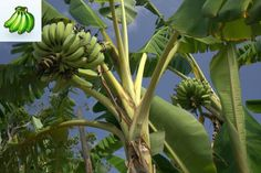 Musa Kandarian Banana tree - Kandarian reaches 40 feet and produces large bunches of AAA+ desert bananas Foliage is a light lime green color and is used for its visual affect in many home landscapes. Great disease resistance Zones 8 and up great wind resistant. - See more at: http://www.floridahillnursery.com