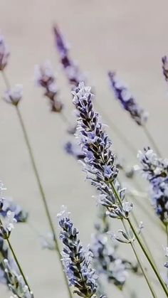 16 Vegan and Gluten-Free Lavender Recipes, plus all about culinary lavender — where to buy it, how to cook with it, heal Vegetarian Recipes Dinner, Vegan Breakfast Recipes, Vegan Recipes Easy, Fall Recipes, Vegan Vegetarian, Deodorant Recipes, Homemade Deodorant, Chickpea Flour Recipes, Lavender Benefits