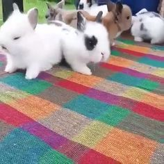 dwarf bunnies for sale \ dwarf bunnies - dwarf bunnies for sale - dwarf bunnies care - dwarf bunnies full grown - dwarf bunnies lop Cute Baby Bunnies, Cute Baby Animals, Animals And Pets, Cute Babies, Funny Animals, Bunny Bunny, Bunny Rabbits, Free Rabbits, Duckling Care