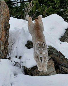 The last pinner called this a bobcat; it's actually a Canada lynx. They are generally much larger than bobcats and have ear tufts. I Love Cats, Big Cats, Cool Cats, Cats And Kittens, Lynx, Beautiful Cats, Animals Beautiful, Animals And Pets, Cute Animals