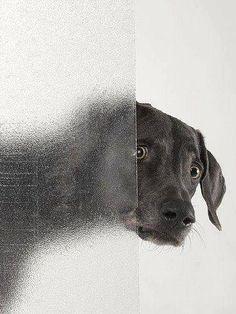 View Psycho by William Wegman on artnet. Browse more artworks William Wegman from Galerie Bugdahn und Kaimer. William Wegman, Love My Dog, Pet Dogs, Dogs And Puppies, Dog Cat, Weimaraner, Vizsla, Doberman, Very Cute Puppies