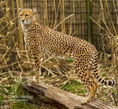 One cheetah by Lewis Outing on 500px