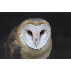 European Barn Owl (Tyto Alba) Canvas Art - Mark Jurkovic Design Pics (17 x 11)