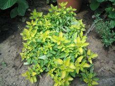 Arany oregánó konyhába Parsley, Gardens, Herbs, Plants, Outdoor Gardens, Herb, Plant, Garden, House Gardens